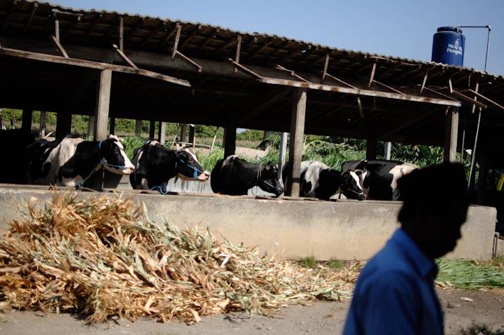 Tak hanya para santri, sapi peliharaan pondok pun harus berhemat air minum saat musim kemarau.